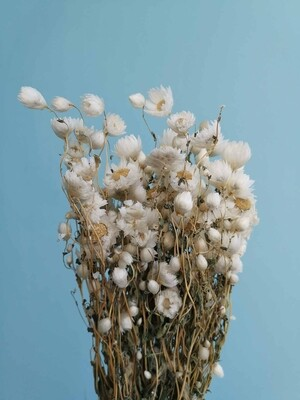 Rodante dried flowers natural white