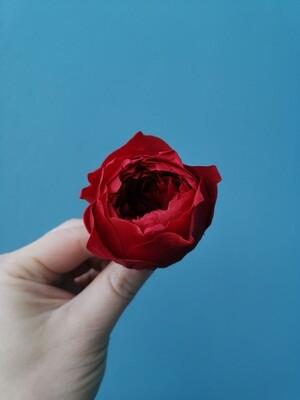 Роза бордовая 5см пионовидная стабилизированная