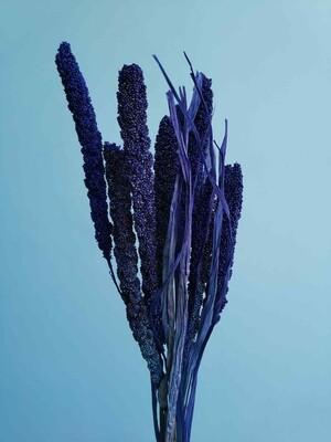 Сетария фиолетовая