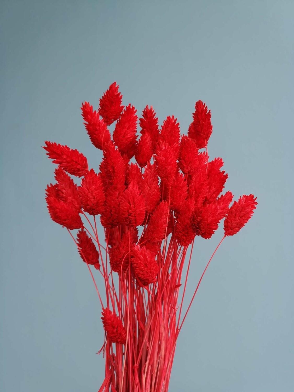 Фалярис красный полпучка сухоцвет