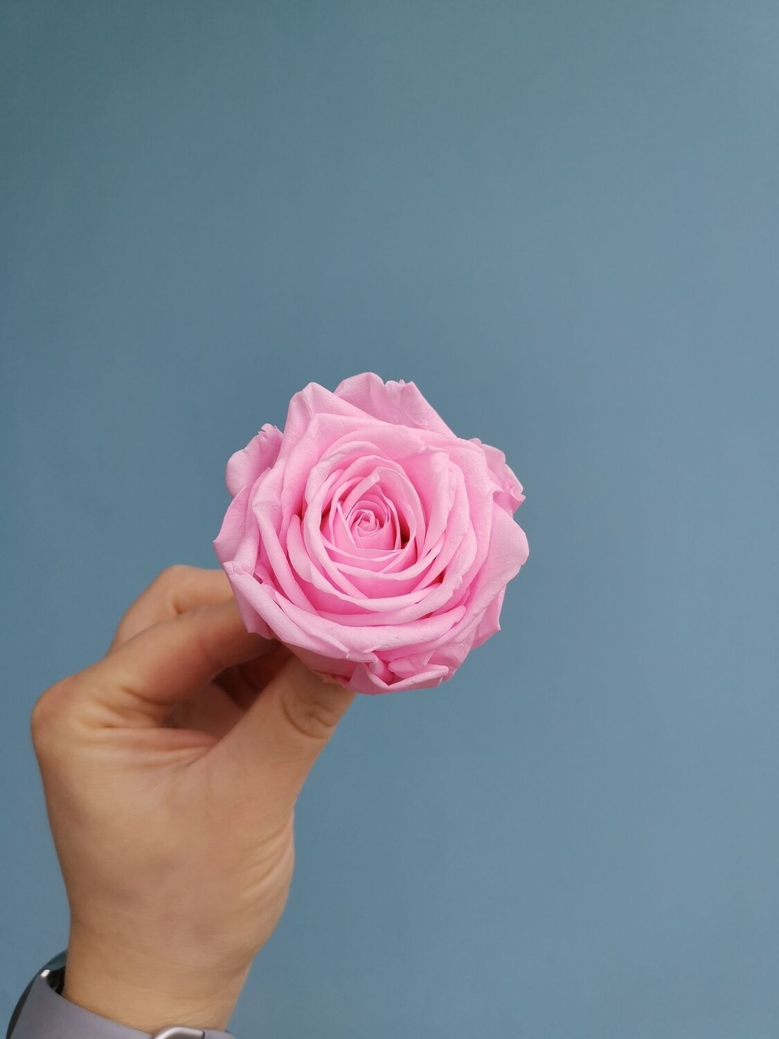 Stabilized rose bud 6cm marshmallow pink