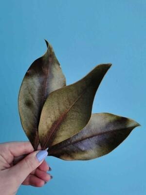 Листья магнолии сухоцвет 3шт