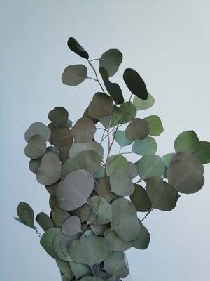 Эвкалипт популюс стабилизированный изумрудно зеленый