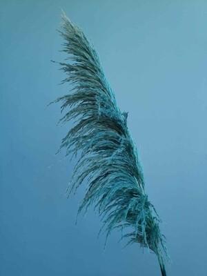 Кортадерия голубая