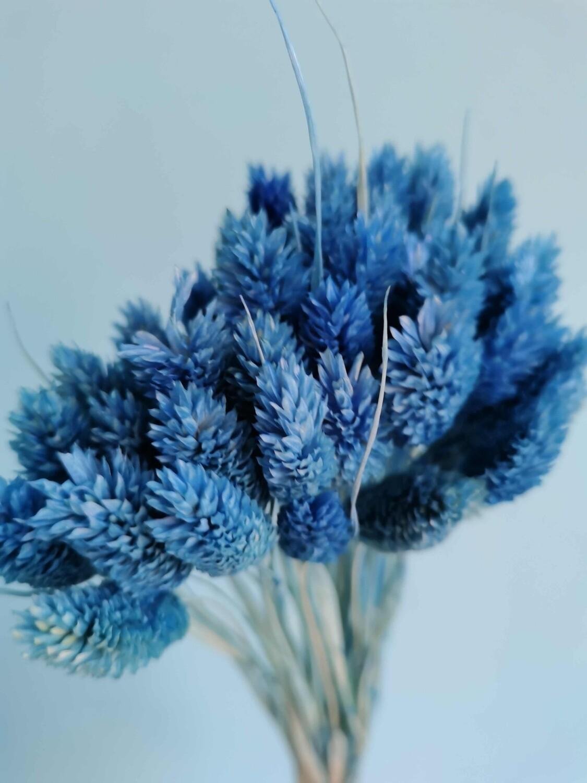 Фалярис синий