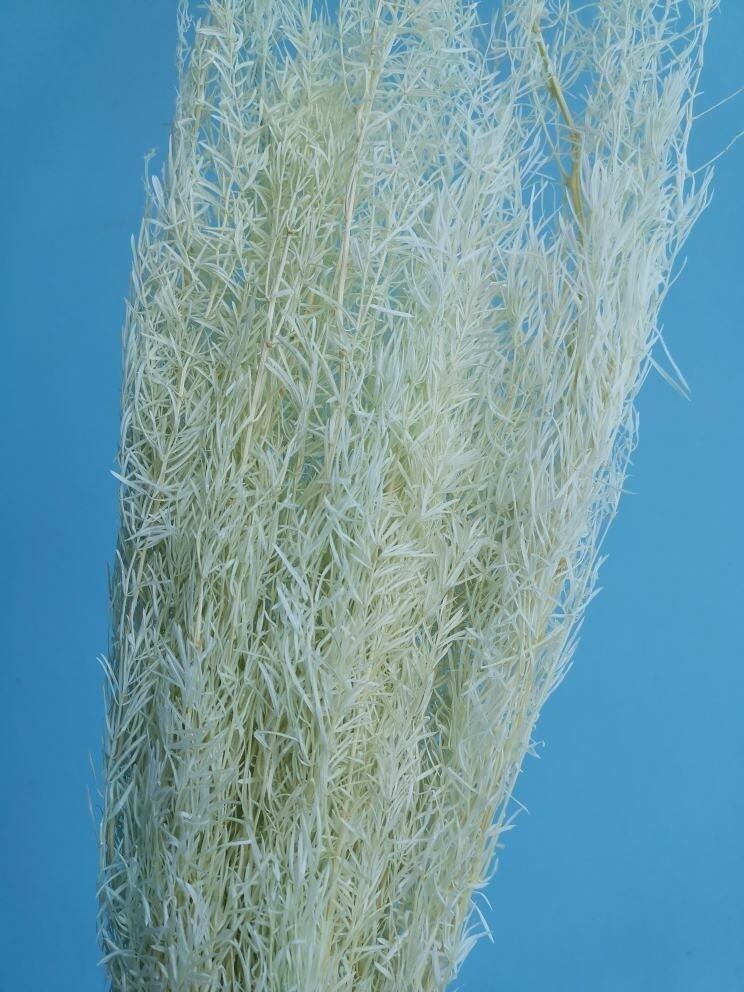 Аспарагус мятный шпренгера стабилизированный