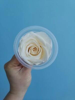 Роза белый крем 5см стабилизированная