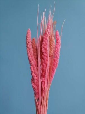 Сетария розовая яркая