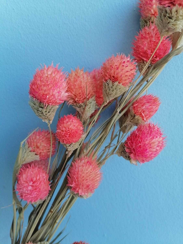 Гомфрена головки на стеблях фаляриса розовая
