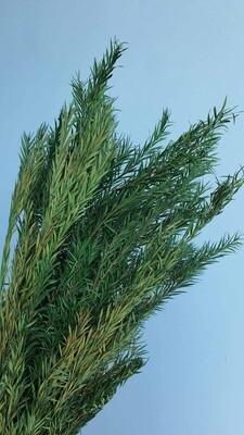 Чайное дерево зеленое стабилизированное