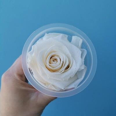 Stabilized rose bud 6cm white cream