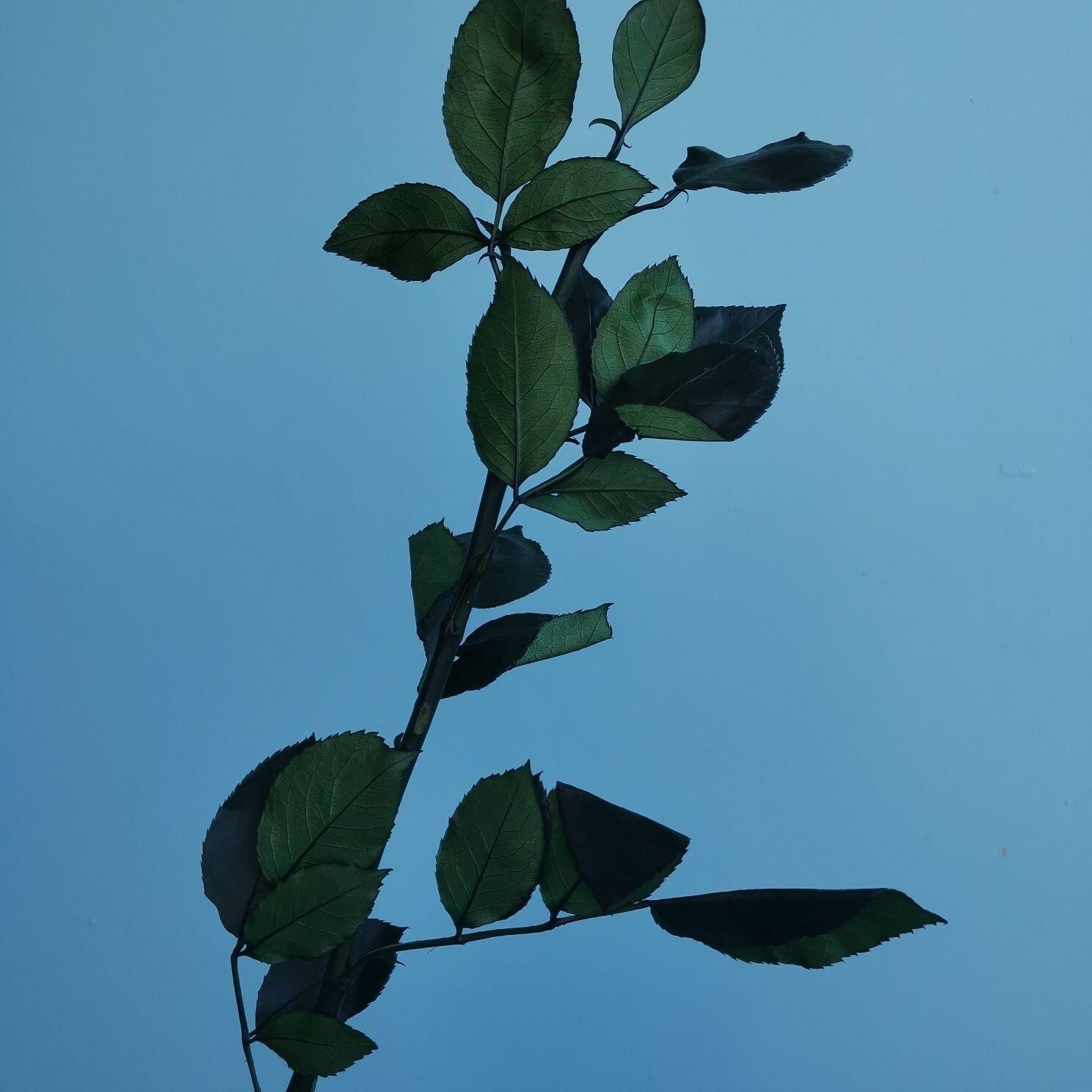 Стебель розы стабилизированный