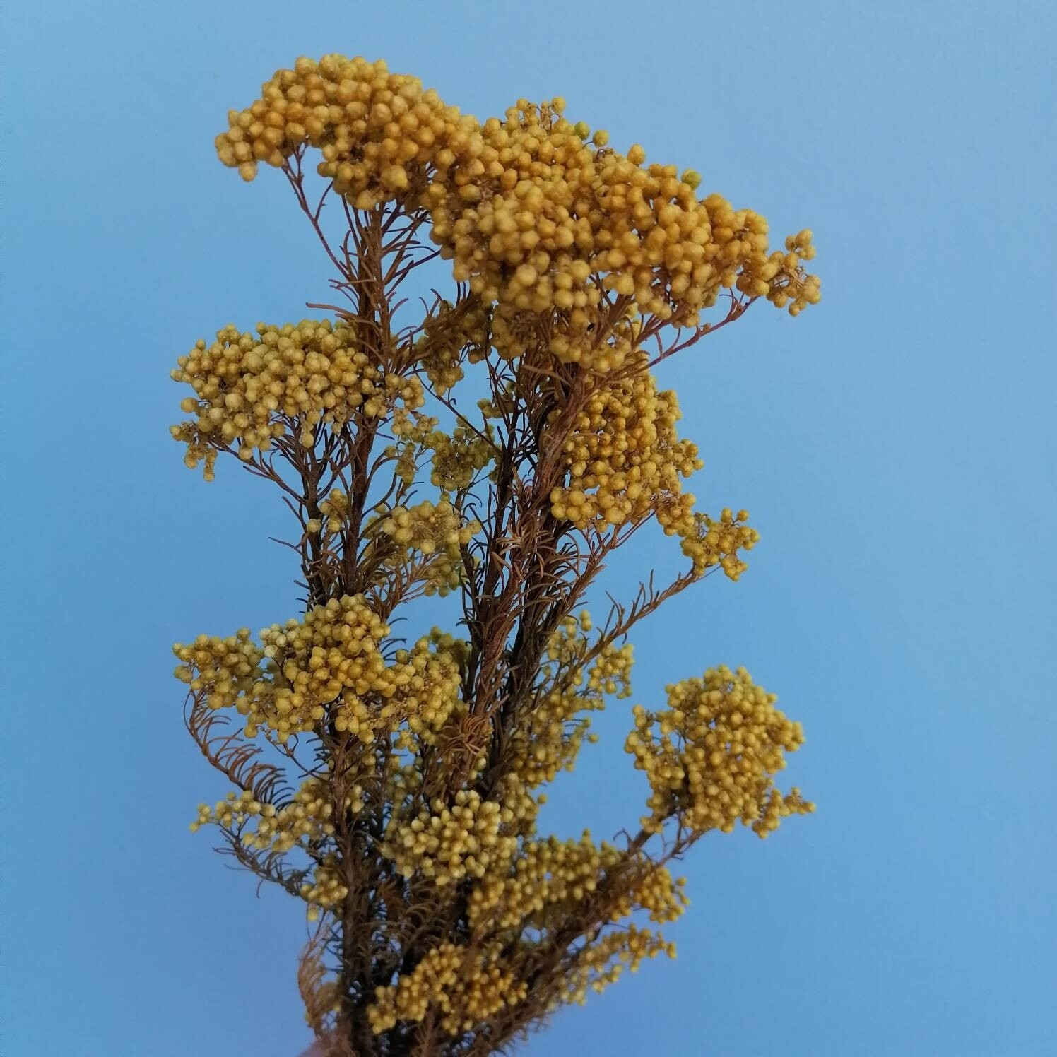 Ozothamnus rice flower mustard color