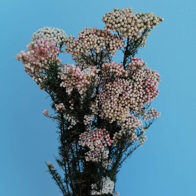 Rice flower nanural pink stabilized