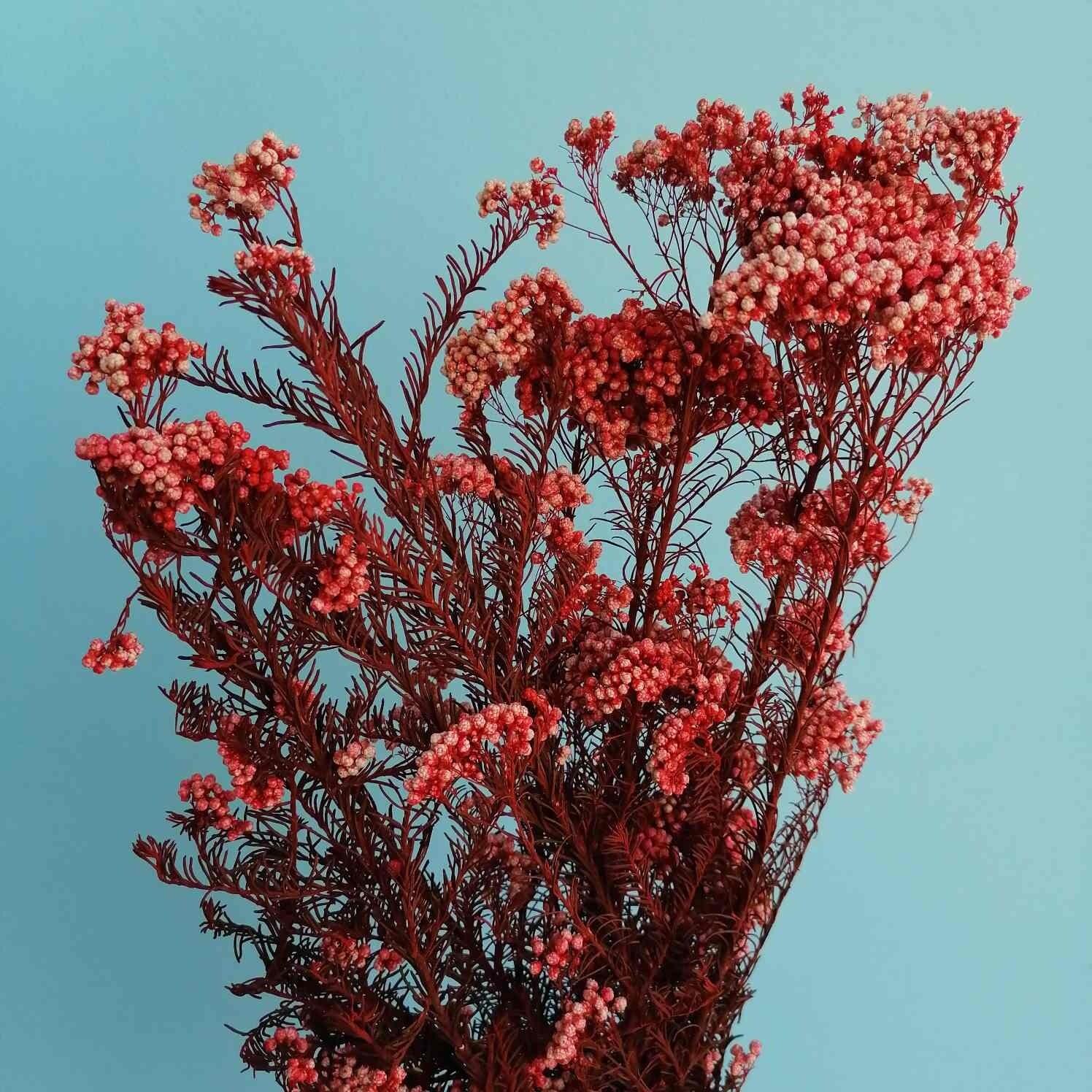 Ozothamnus rice flower stabilized red