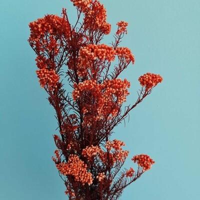 Ozotamnus or stabilized orange rice flower