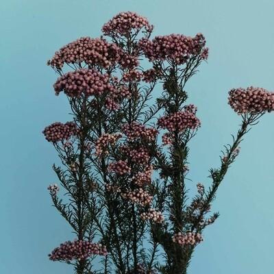 Ozotamnus stabilized lilac