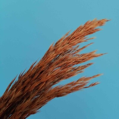 Тростник коричнево рыжий ветка
