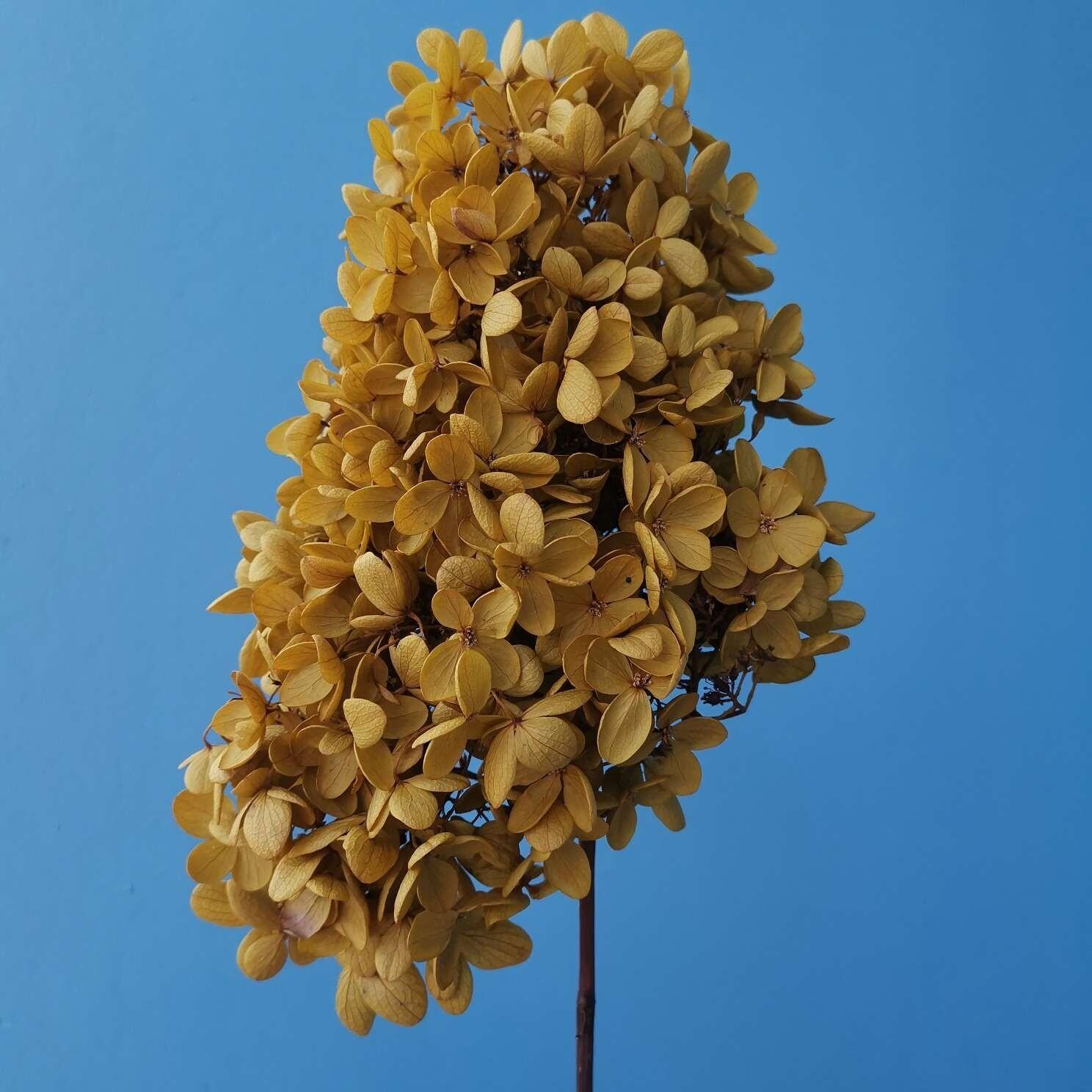 Hydrangea stabolized mustard