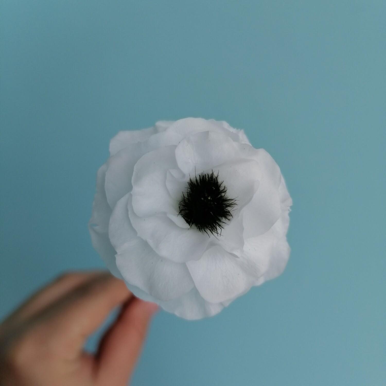 Anemone white 3,5-4cm