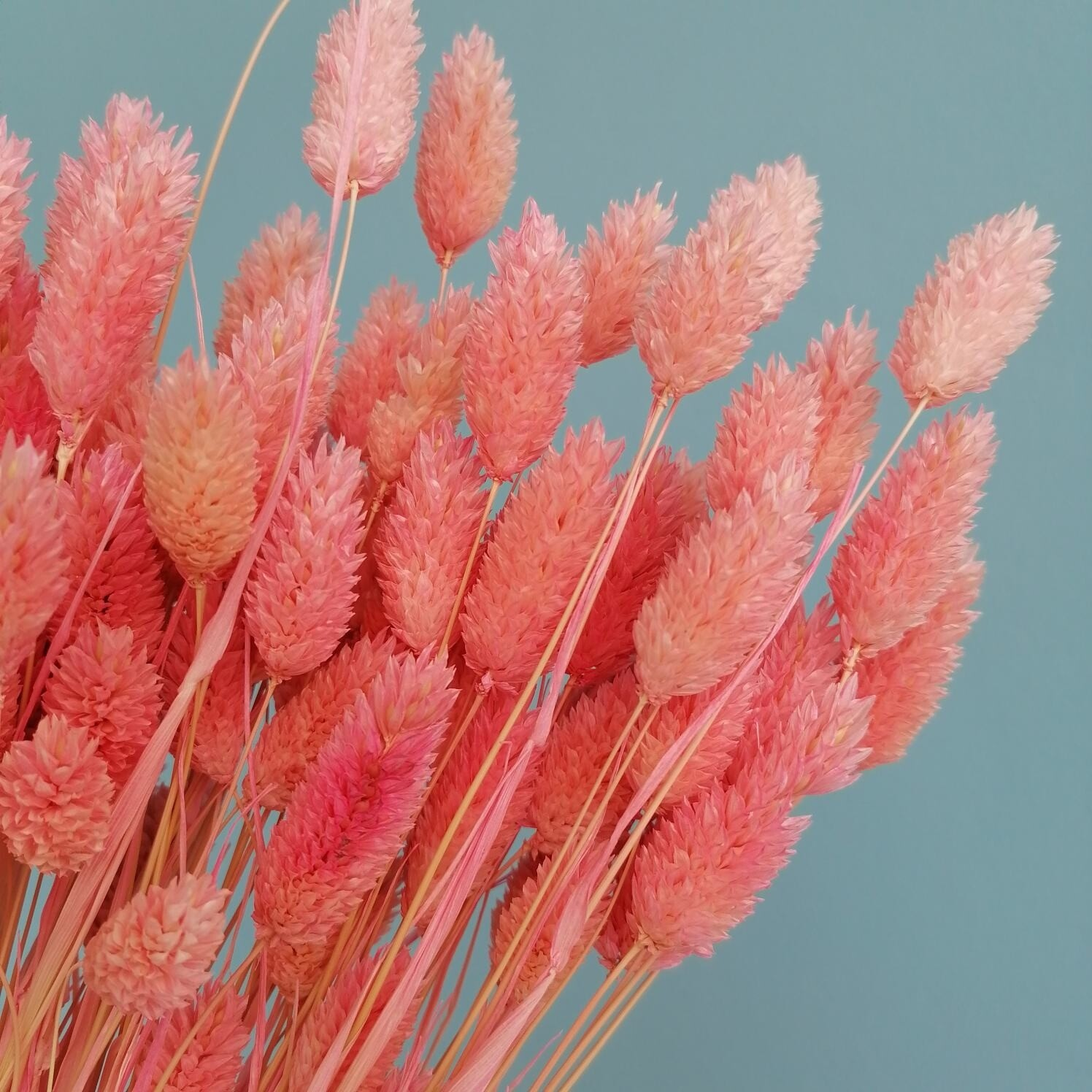 Фалярис розовый барби