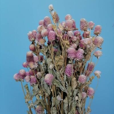 Gomphrene dried pink-lilac