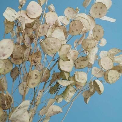 Lunaria dried