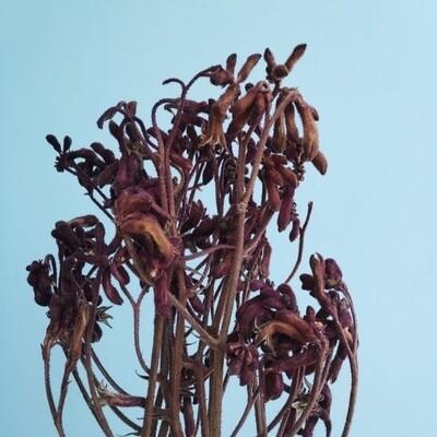 Anigosanthus stabilized burgundy