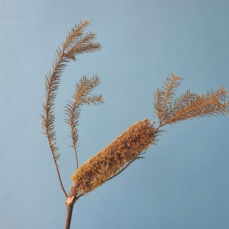 Banksia baxteri yellow dried