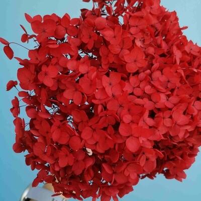 Hydrangea stabilized red