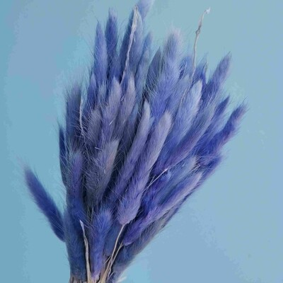 Lagurus blue light dried