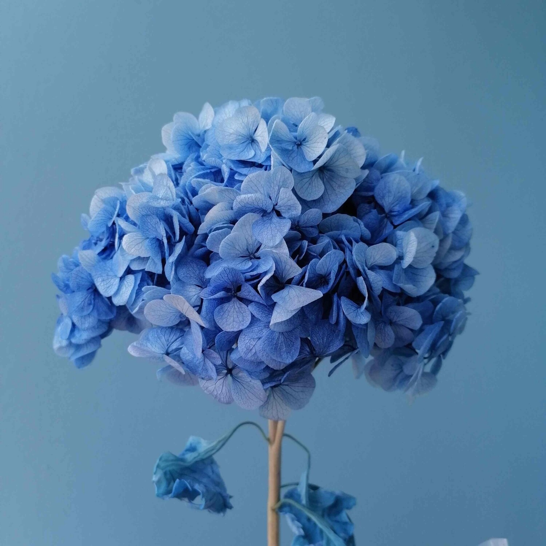 Гортензия синяя крупные лепестки стабилизированная