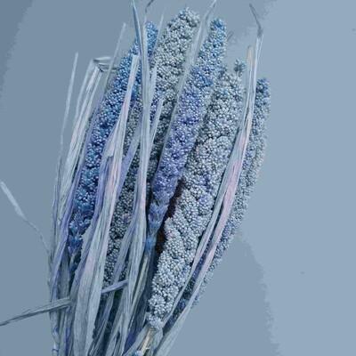 Setaria light blue dried