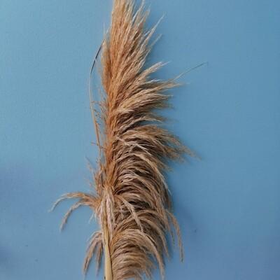 Wheat colored cortaderia
