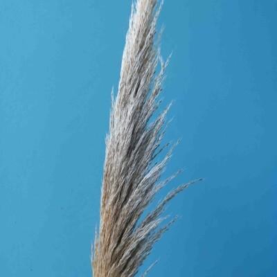 Cortaderia wheat color