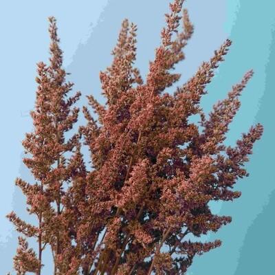 Astilba stabilized burgundy