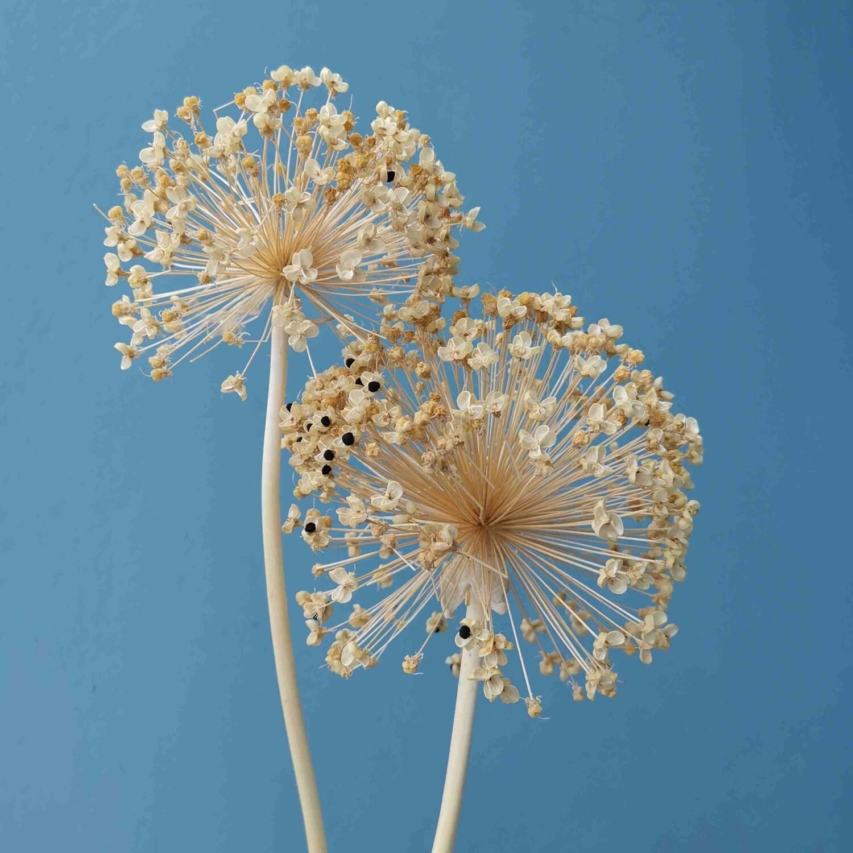 Allium natural dried