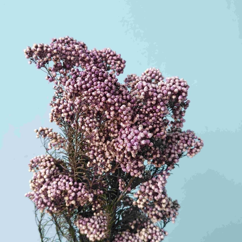 Озотамнус фиолетовый стабилизированный В ПУТИ