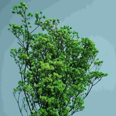 Gypsophila green stabilized