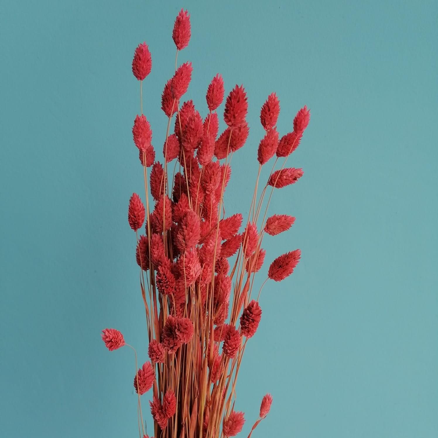 Phalyaris dried hot pink