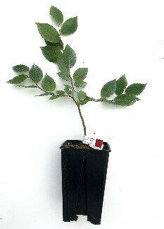 Charme Truffier Tuber Mélanosporum de 3 ans (carpinus betulus)