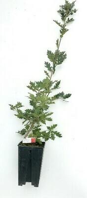 Chêne Truffier Pubescent Tuber Mélanosporum de 3 ans (quercus pubescens)