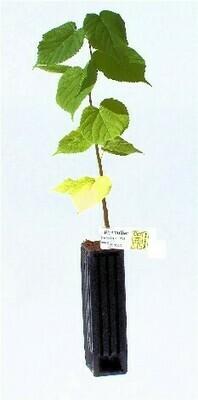 Tilleul Truffier Tuber Uncinatum (tillia cordata)
