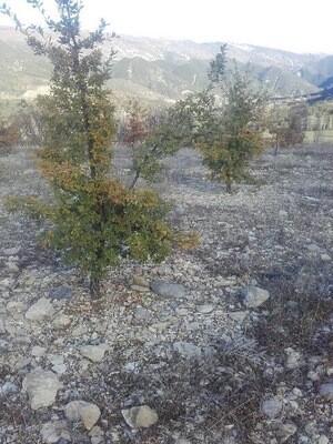 Pack de Plants Truffiers spécial Tuber Mélanosporum
