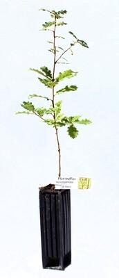 Chêne Truffier Pédonculé Tuber Uncinatum (quercus robur)