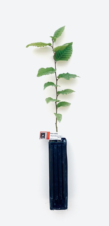 Charme Truffier Tuber Mélanosporum (carpinus betulus)
