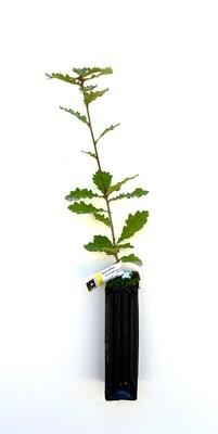 Chêne Truffier Pubescent Tuber Uncinatum (quercus pubescens)