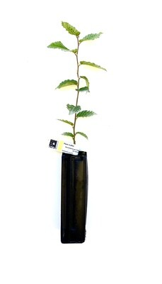 Charme Truffier Tuber Uncinatum (carpinus betulus)