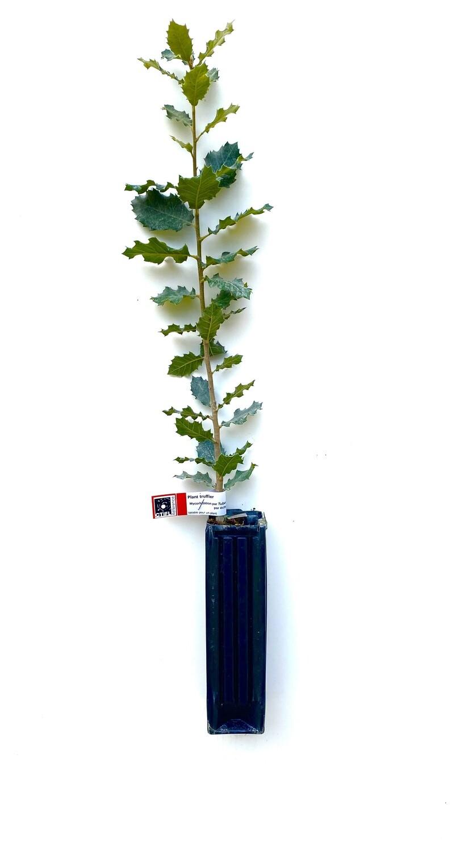 Chêne Vert Truffier Tuber Mélanosporum (quercus ilex)