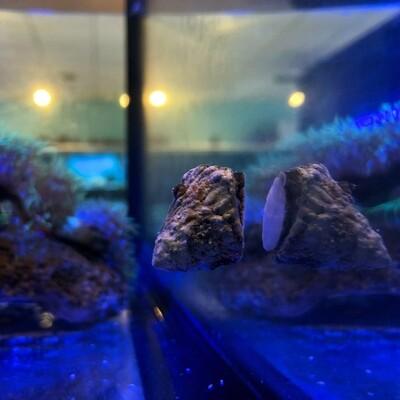 Astraea Turbo Snail